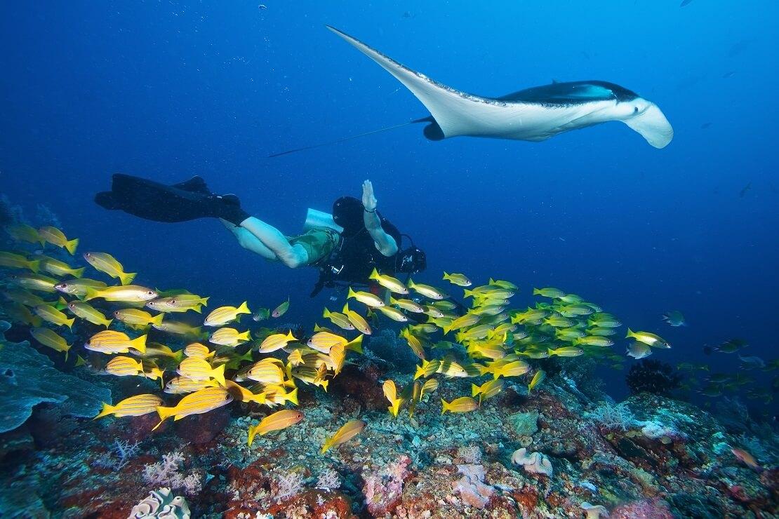 Taucher über einem gelben Fisch-Schwarm mit einem Manta-Rochen