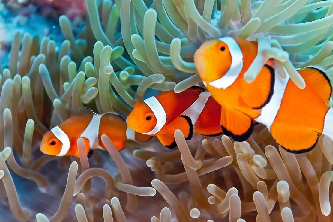 Drei Clownfische an einer Anemone