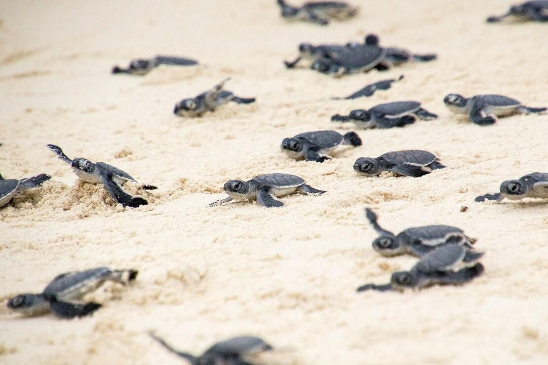 Baby-Meeresschildkröten auf dem Weg ins Meer