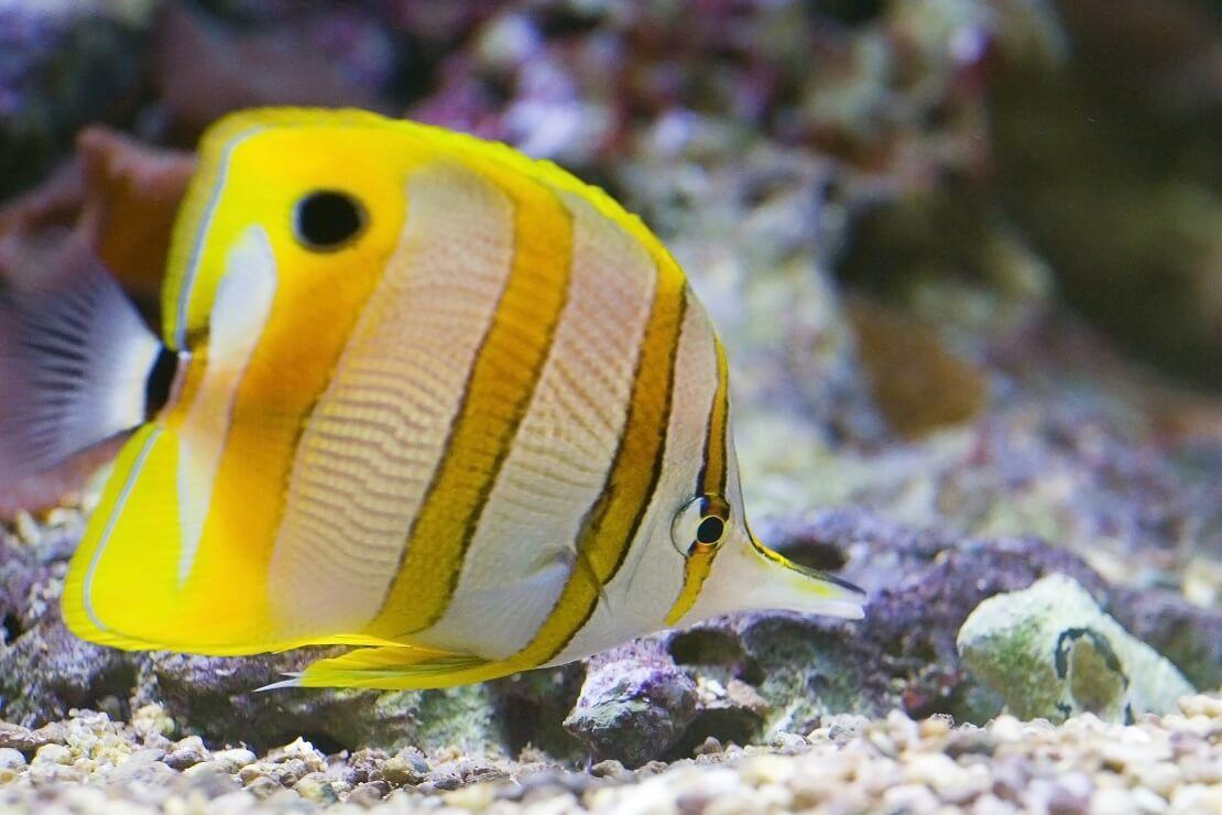 Ein gelb-weiß gestreifter Butterflyfisch