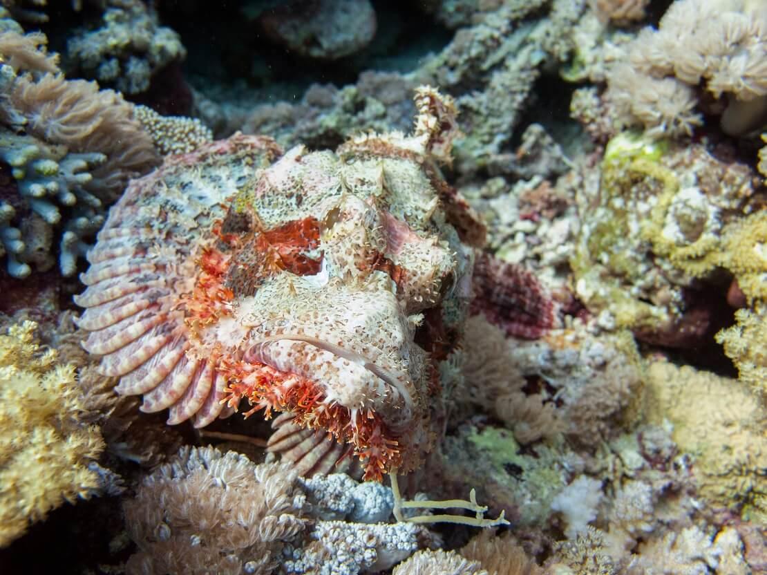 Heller Drachenkopf zwischen Korallen