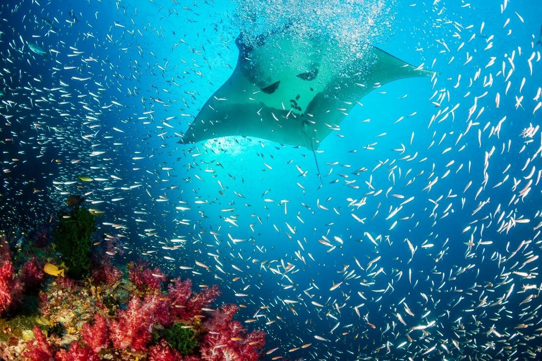 Ein Riesenmanta gleitet über einen Fischschwarm