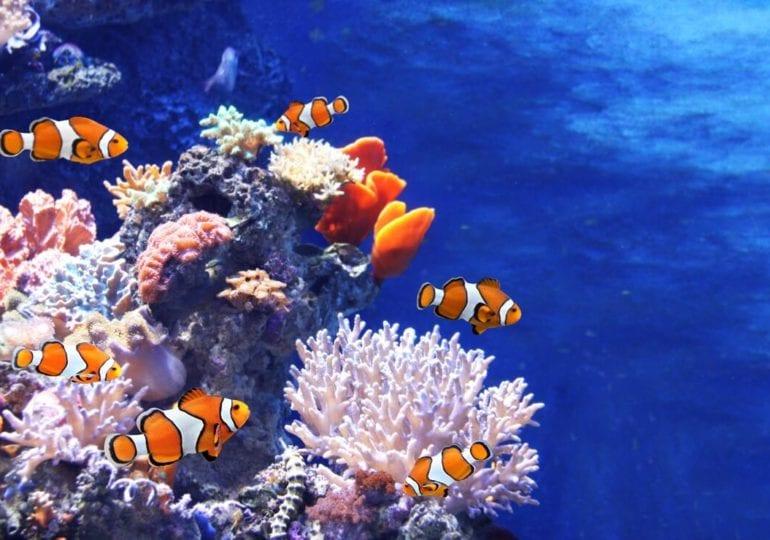 Lustige Clownfische zwischen giftigen Tentakeln