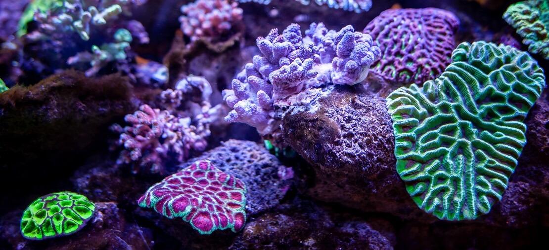 Sattgrüne und fliederfarbene Korallen
