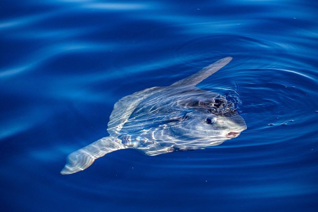Ein Mondfisch legt sich an der Wasseroberfläche auf die Seite