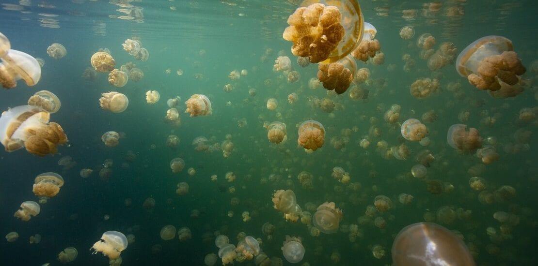 Palau: Zwischen Medusen im Jellyfish Lake