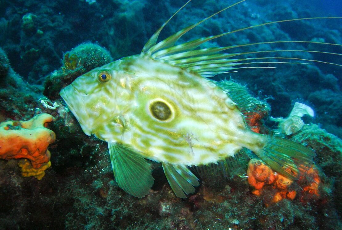Ein St. Petersfisch auf dem Grund