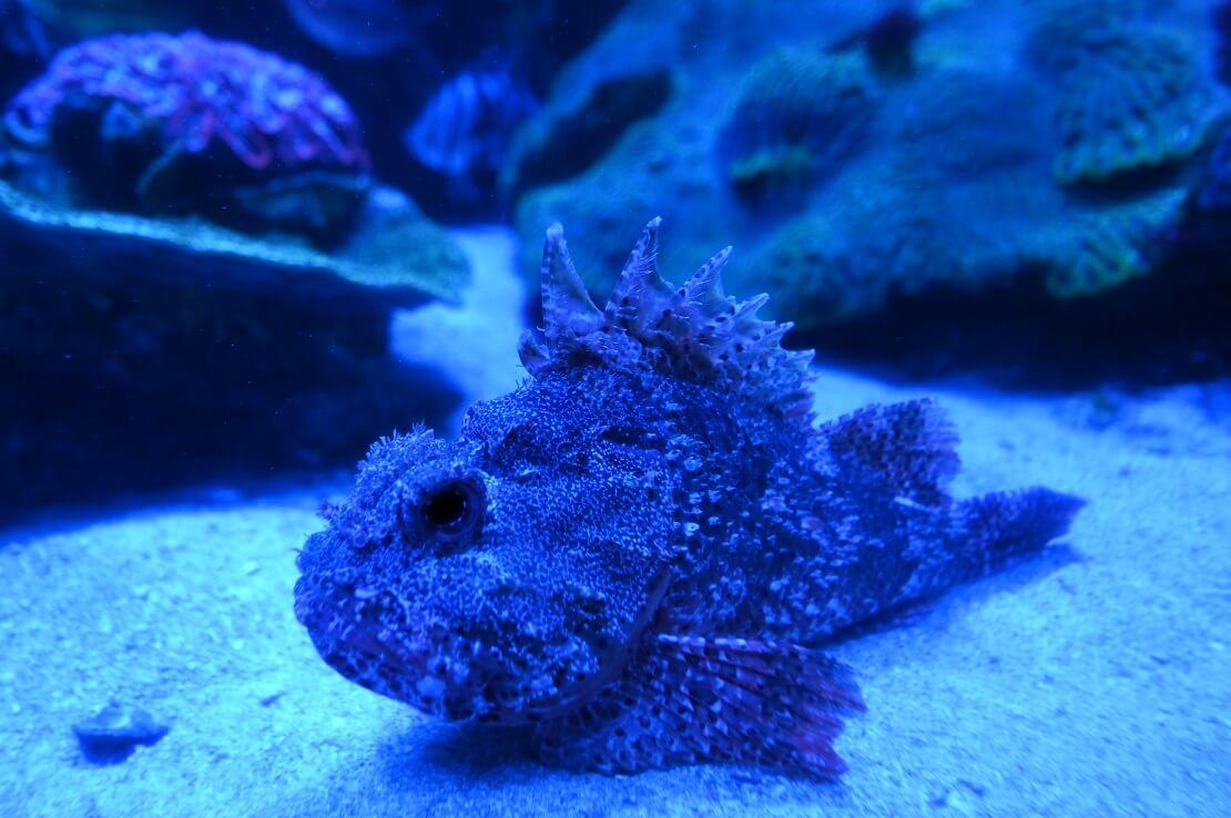 Ein Steinfisch mit seinen Giftstacheln