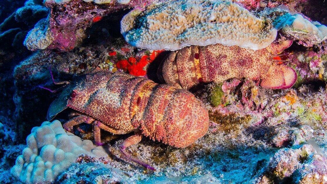 Zwei Bärenkrebse in einem bunten Korallenriff