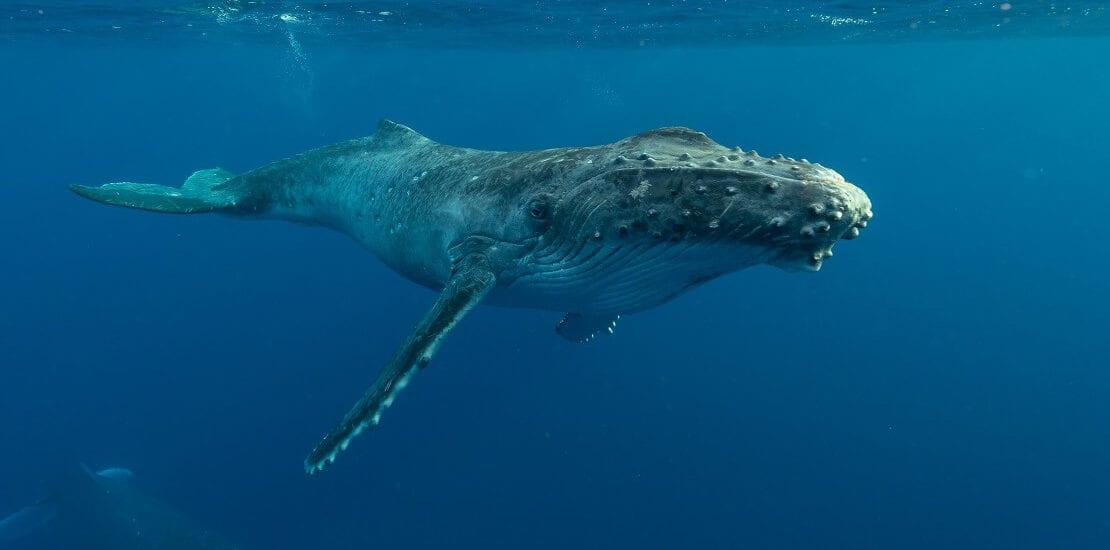 Ein moderner Jona? Taucher aus Massachusetts wird von Buckelwal verschluckt