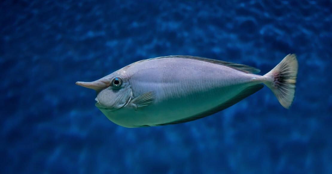 Ein Einhornfisch in blauem Wasser