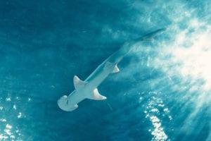 Cocos Island: Inmitten großer Hammerhai-Schulen