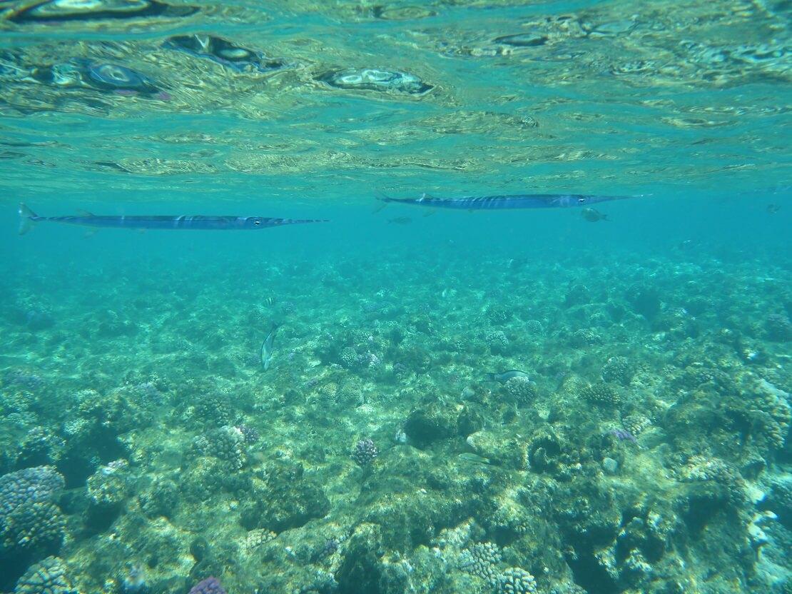 Zwei Hornhechte direkt unter der Wasseroberfläche