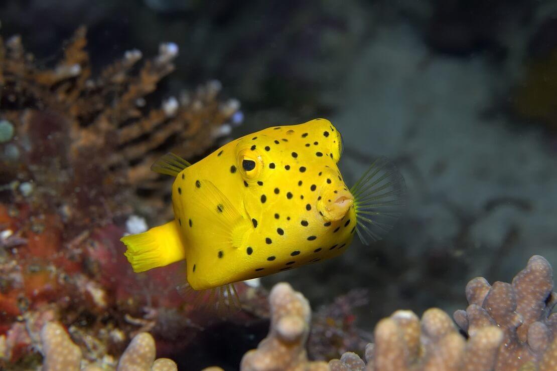 Ein gelber Kofferfisch mit schwarzen Punkten