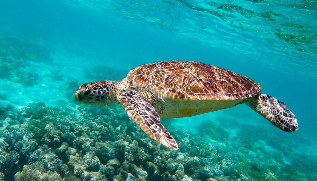 Eine Meeresschildkröte in türkisblauem Wasser