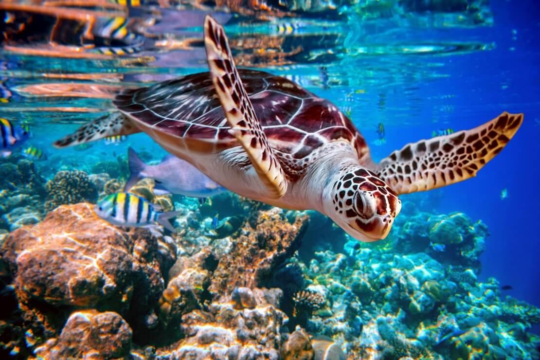 Eine Meeresschildkröte über einem bunten Korallenriff