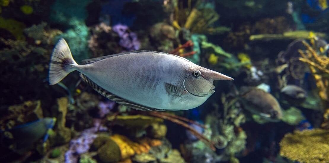 Der Einhornfisch: Ein Doktor mit Skalpell und Pinocchio-Nase