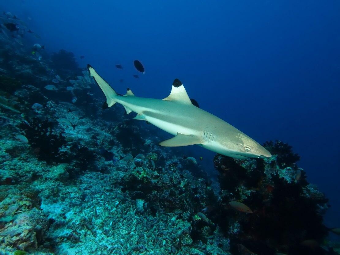 Ein Schwarzspitzenhai gleitet über Korallen