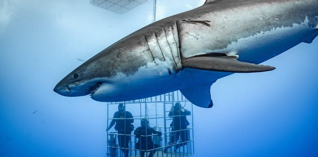 Guadalupe: Tauchen mit dem Weißen Hai