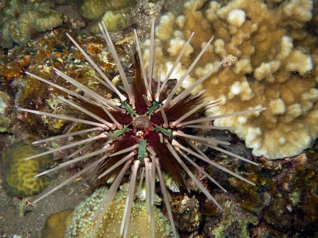 Roter Diademseeigel mit weißen Stacheln