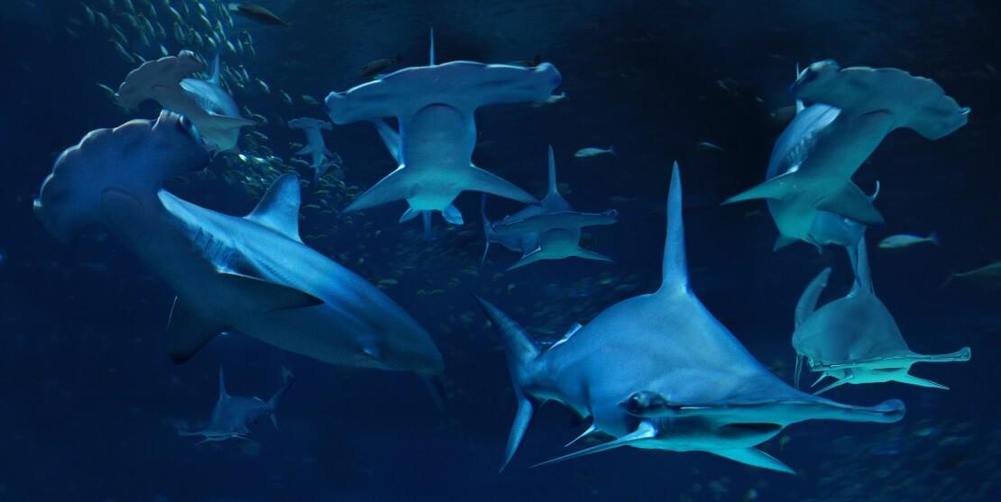 Eine große Schule Hammerhaie