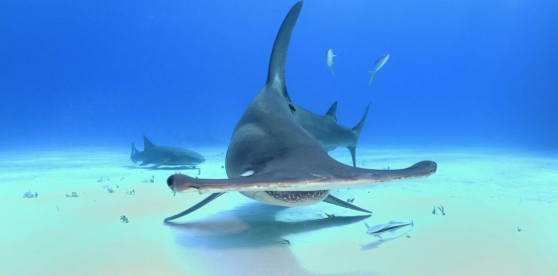 Der Hammerhai: Charakterkopf mit vielen Funktionen