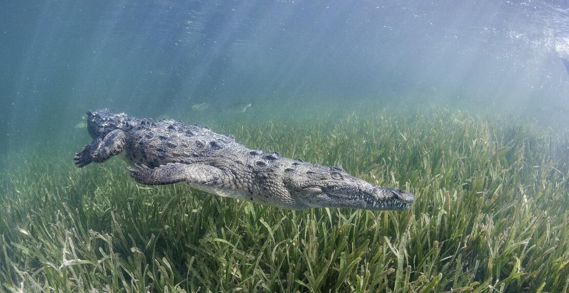 Ein Krokodil schwimmt über eine Seegraswiese hinweg