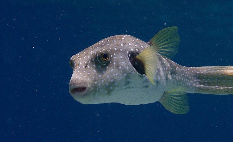 Hasenkopf-Kugelfisch wird zur Plage im Mittelmeer