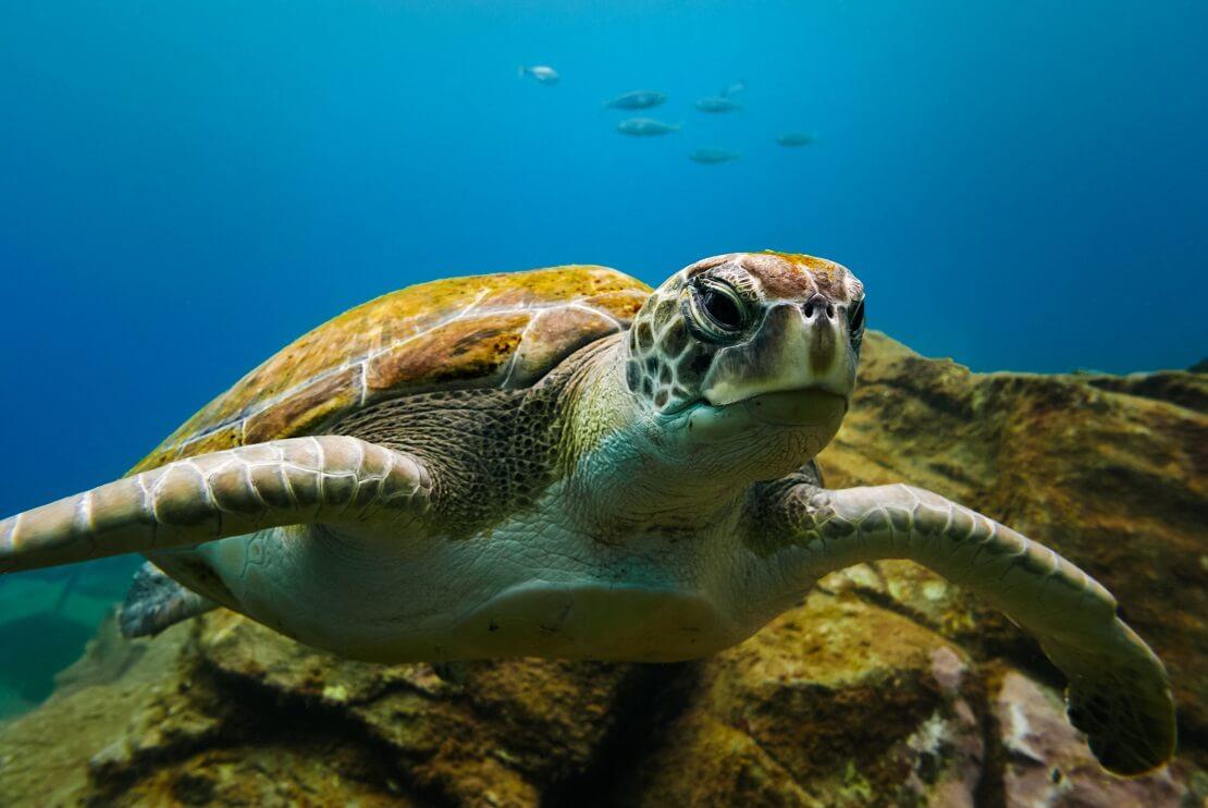 Meeresschildkröte in tiefblauem Wasser