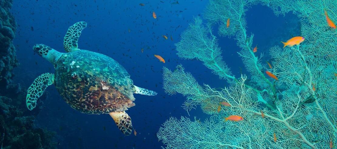 Unterwasserschildkröten mit türkisblauen Fächerkorallen