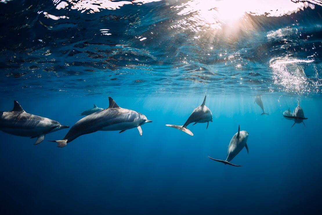 Ein Delfin-Schwarm direkt unter der Wasseroberfläche