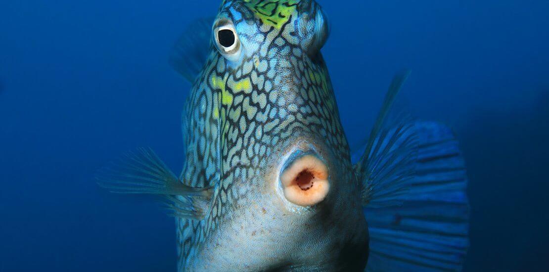 Kofferfische: Scheu und giftig zugleich