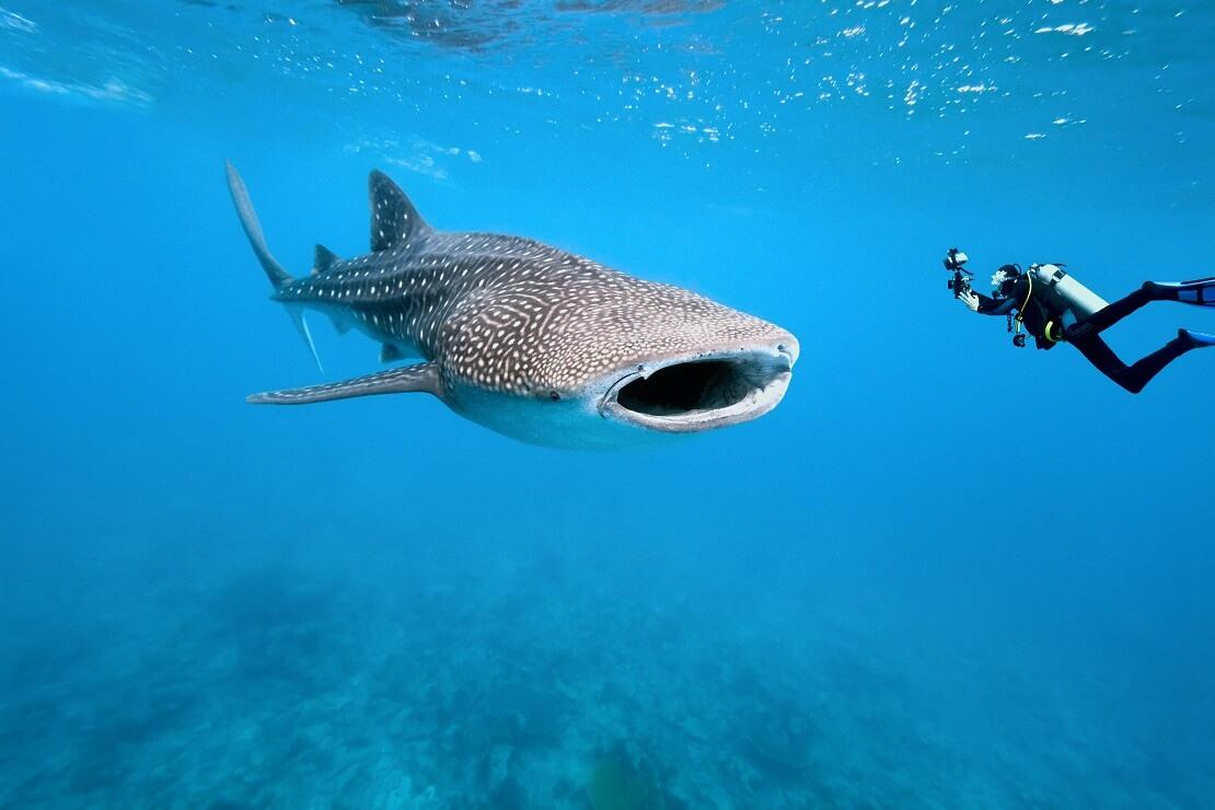 Ein Walhai mit einem Taucher in türkisblauem Wasser