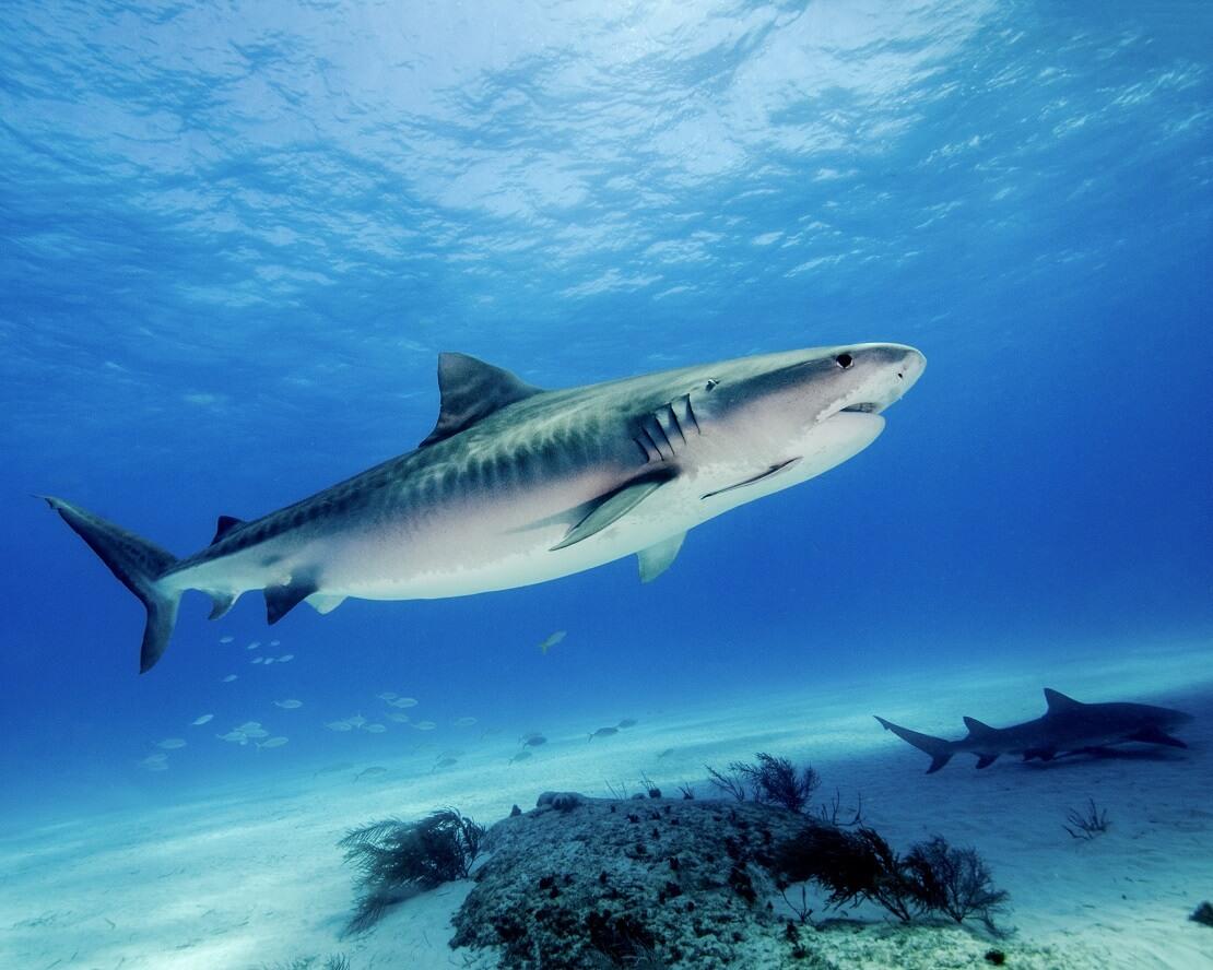 Zwei Haie über dem Grund vor den Bahamas