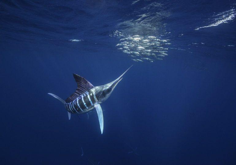 Segelfisch: Der schnellste Fisch der Welt