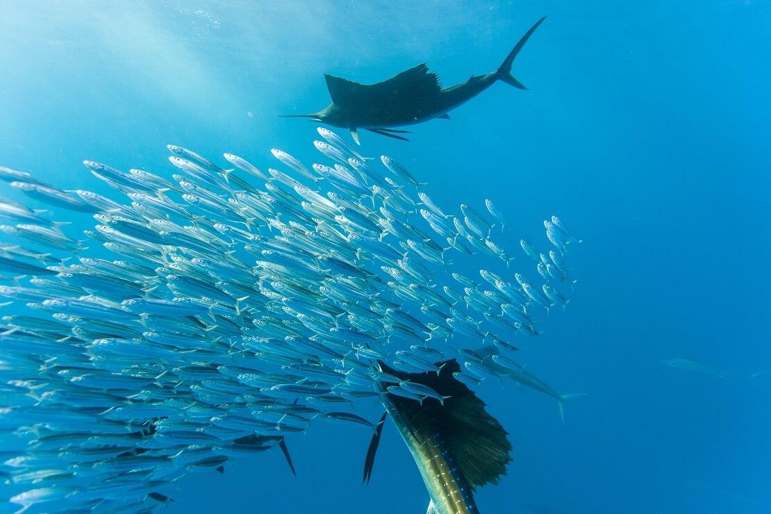 Zwei Segelfische umkreise einen Schwarm Sardinen