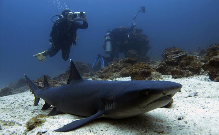 Weißspitzen-Riffhai mit Tauchern